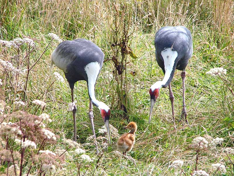 cranes chicks bird conservation exmoor zoo