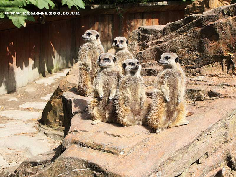 meercat group exmoor zoo