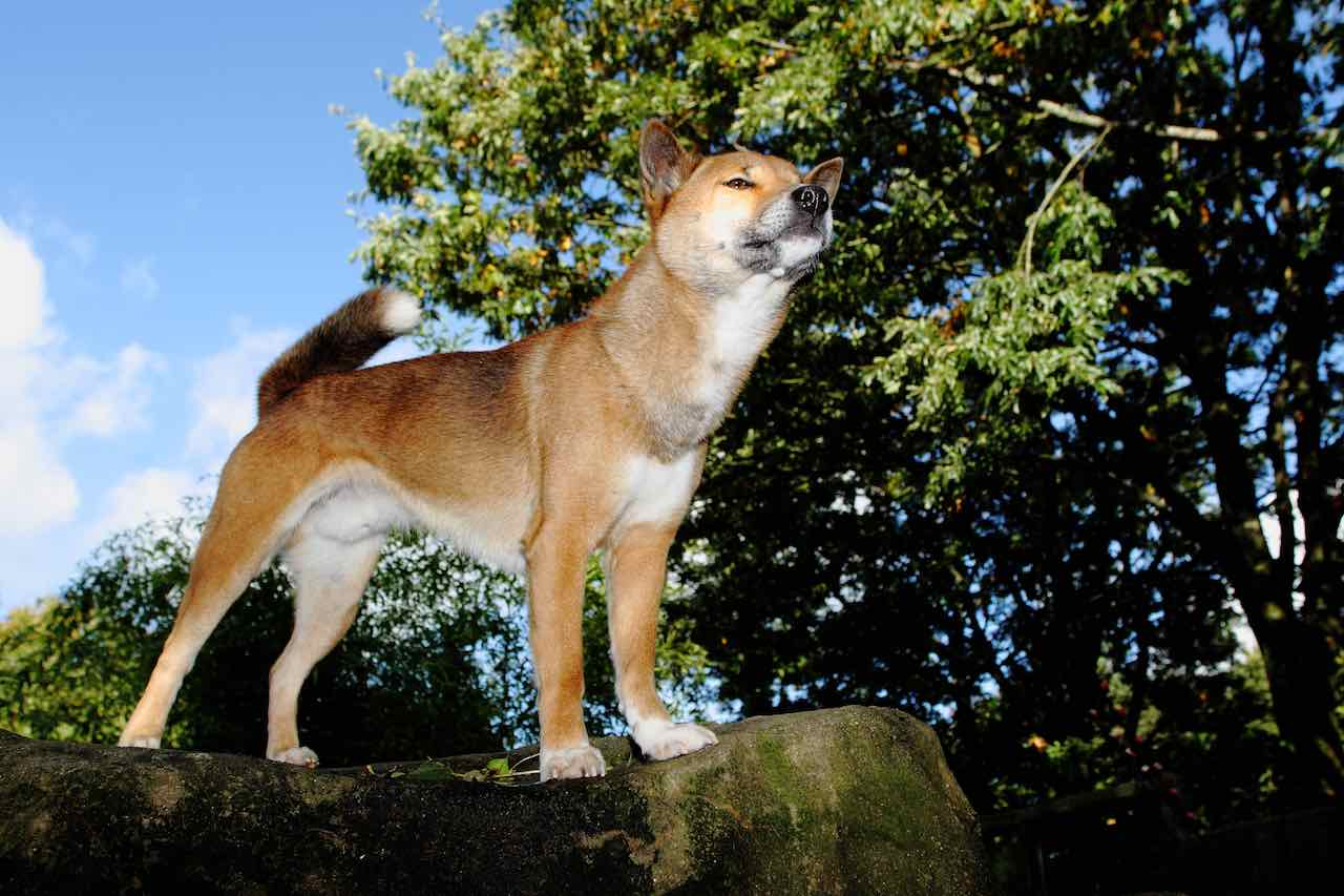New Guinea Singing dog at exmoor zoo a