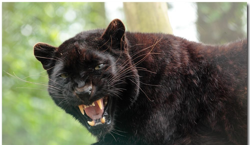 Ebony black panther leopard at exmoor zoo a