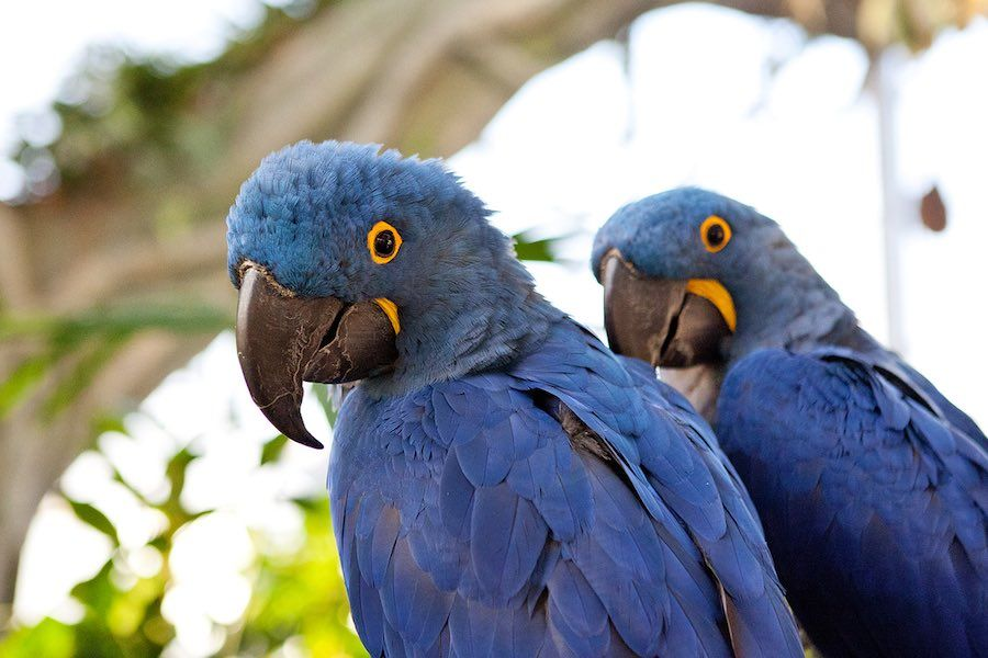 pair blue macaws at dubai the green planet a