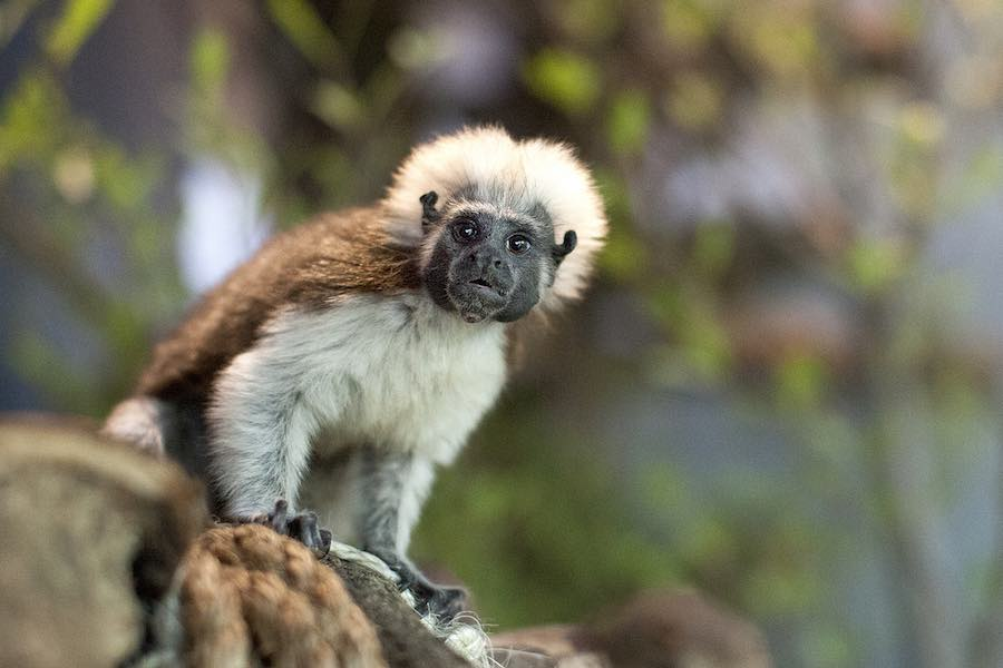 Cotton top tamarin the green planet dubai rainforest