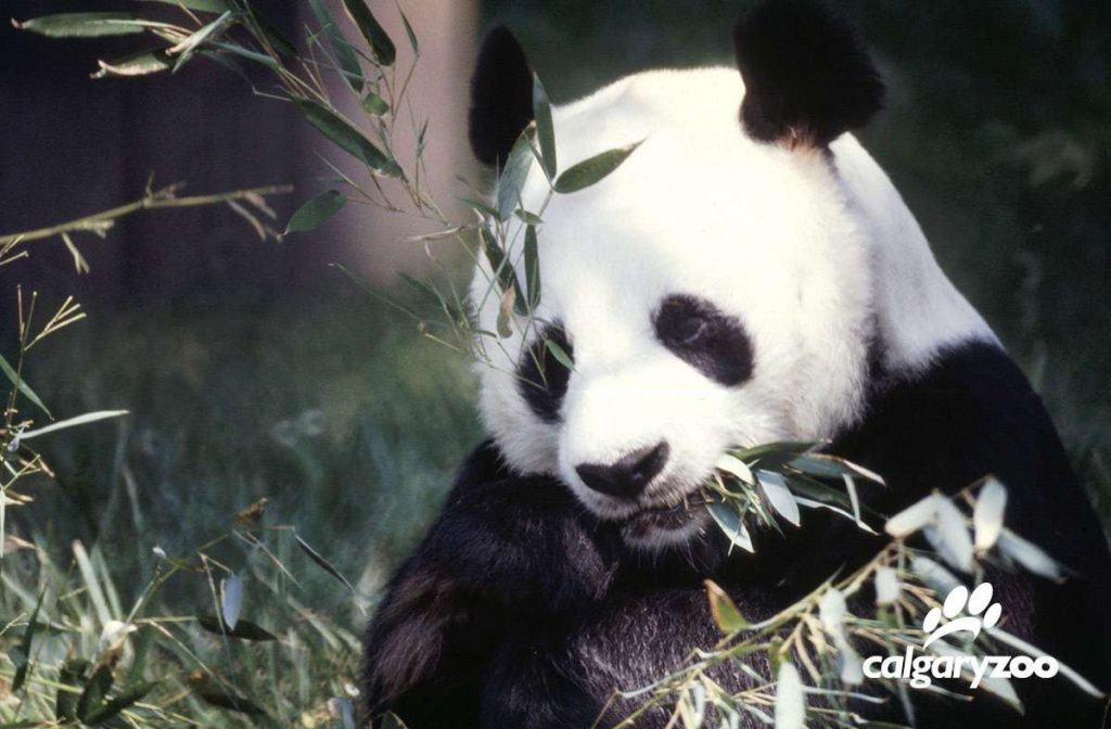 calgary zoo panda passage new habitat for giant pandas