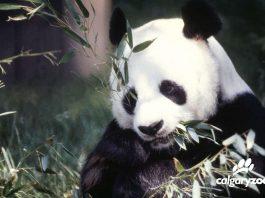 calgary zoo panda passage new habitat for giant pandas