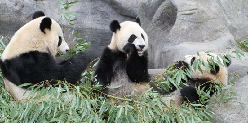 three pandas eating bamboo