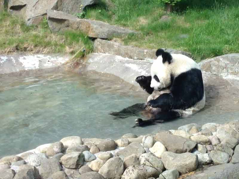 Giant Panda at Edinburgh Zoo.