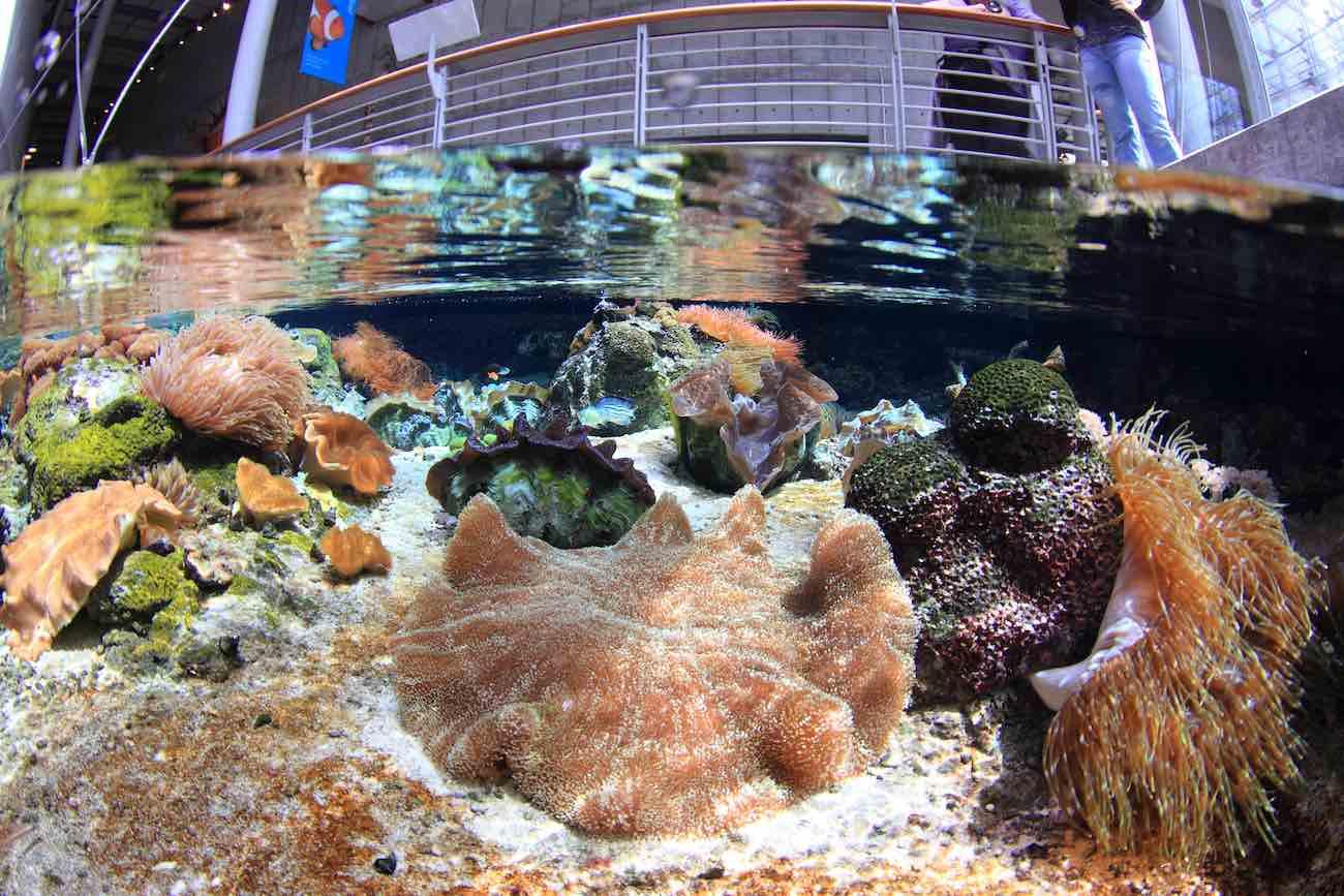 coral reef restoration conservation at the steinhart aquarium