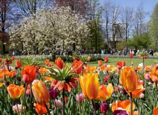 tulips at Tiptoe through the tulips - Imagineear creates new interactive guide for Tours and Tickets bulbfields tour at Keukenhof - Imagineear creates tour guide