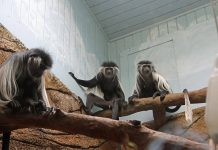 Colobus monkey exhibit at Little Rock Zoo
