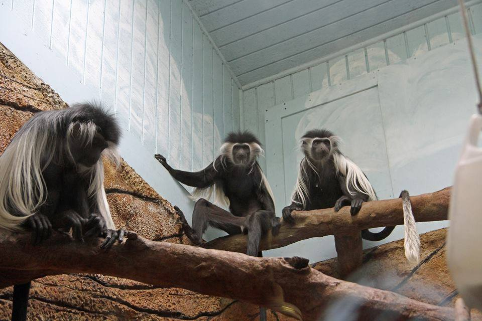 Colobus monkey exhibit at Little Rock Zoo