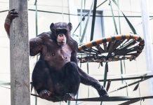 Twycross Zoo unveils £3.5m Chimpanzee Eden