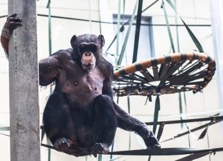 Chimpanzee Eden at Twycross Zoo.