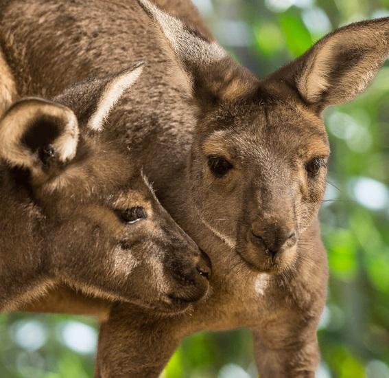 Walkabout Australia opening at San Diego Zoo Safari Park