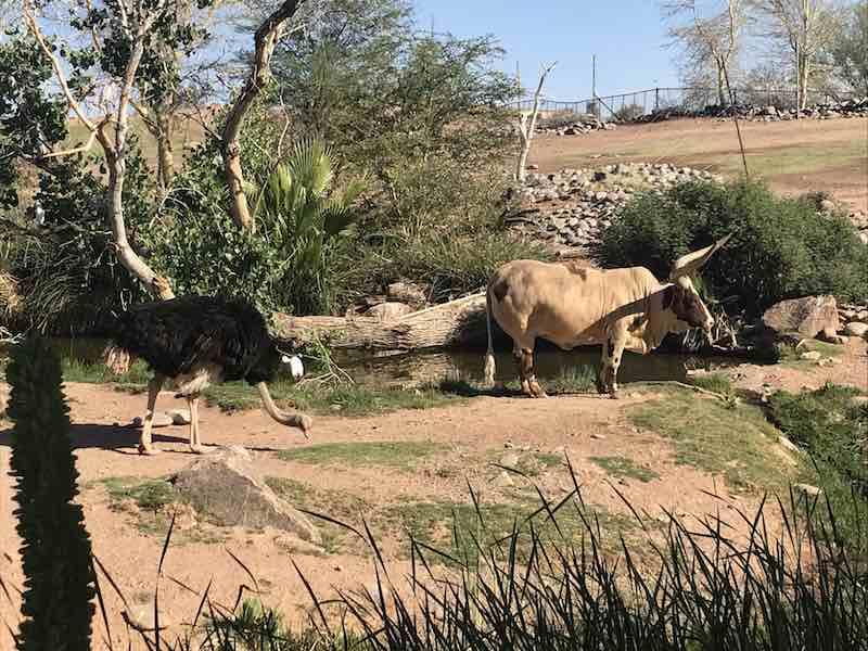 Phoenix Zoo Ostrich and Buffalo