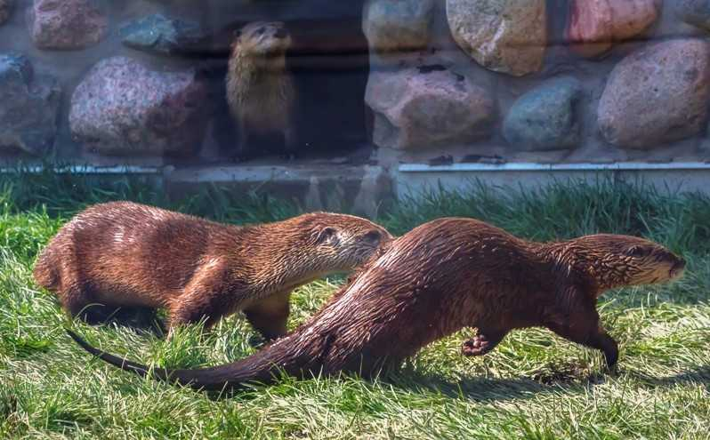 river otters play in Otter Passage at Milwaukee County Zoo