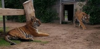wright park zoo tigers dodge city x