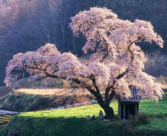 cherry tree japan pink