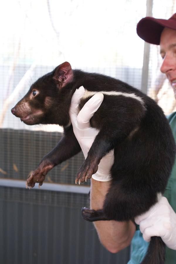 Young tasmanian devil Zoos SA Zoos South Australia