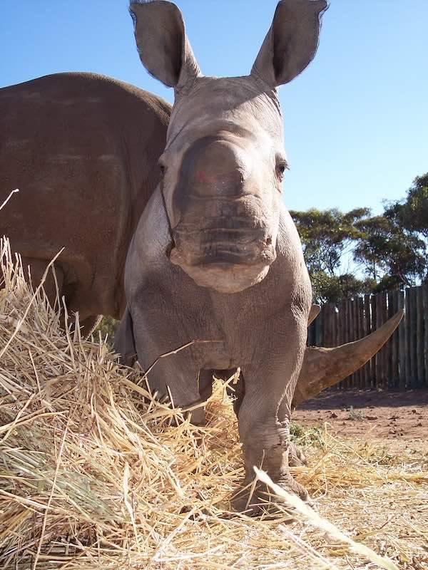 rhinoceras zoos sa zoos south australia