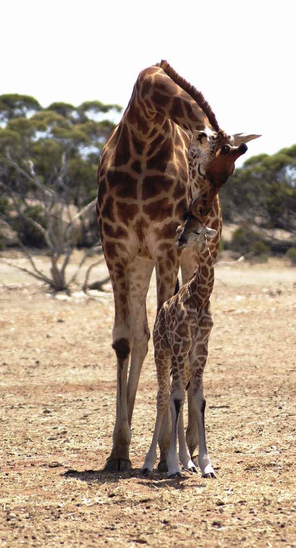 Giraffe and new born calf Zoos SA