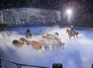 cowboys herd cattle in show at australian outback spectacularr
