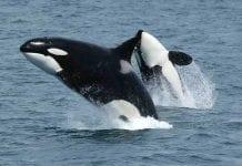 orcas killer whales china marine park