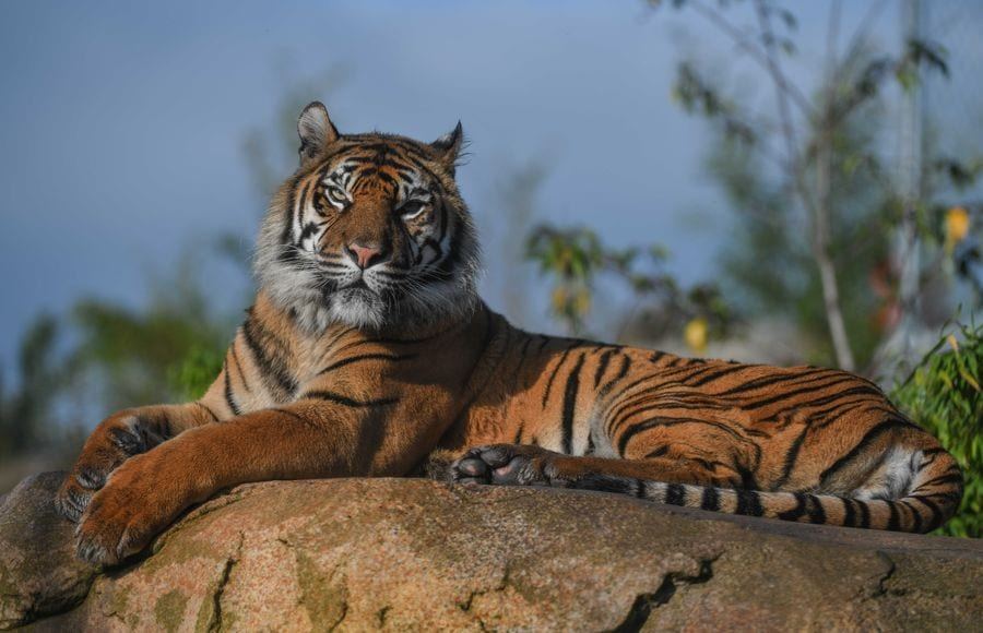 Chester Zoo, tiger resting on a rock