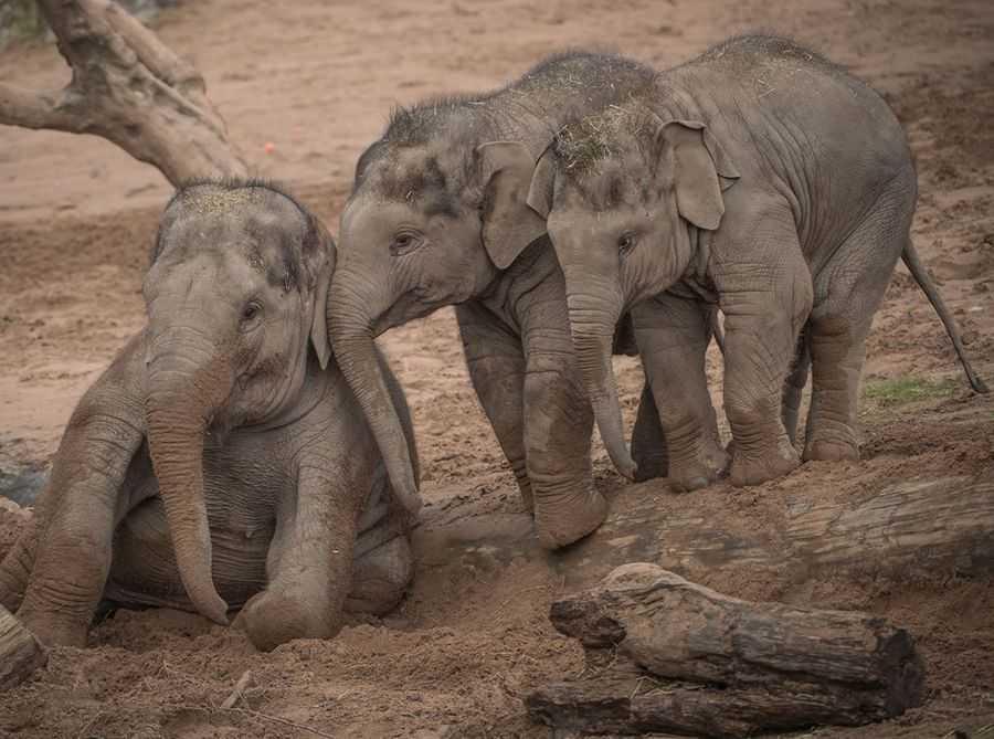 Chester Zoo, three elephants