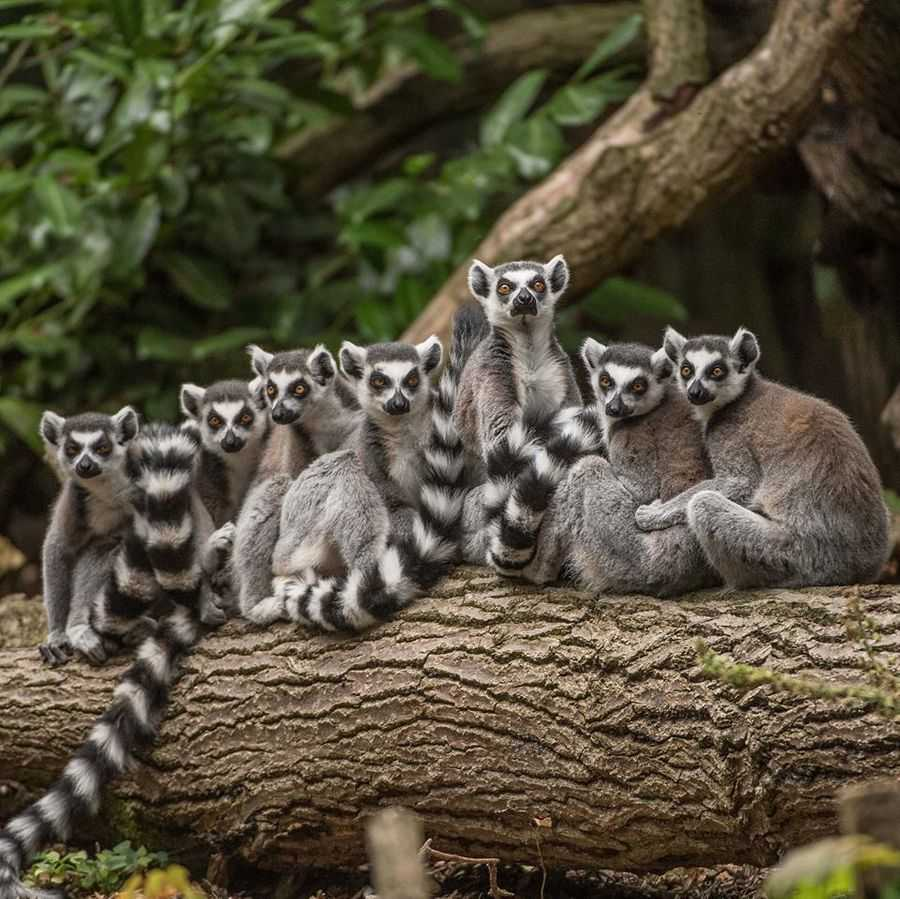 Chester Zoo, Lemurs