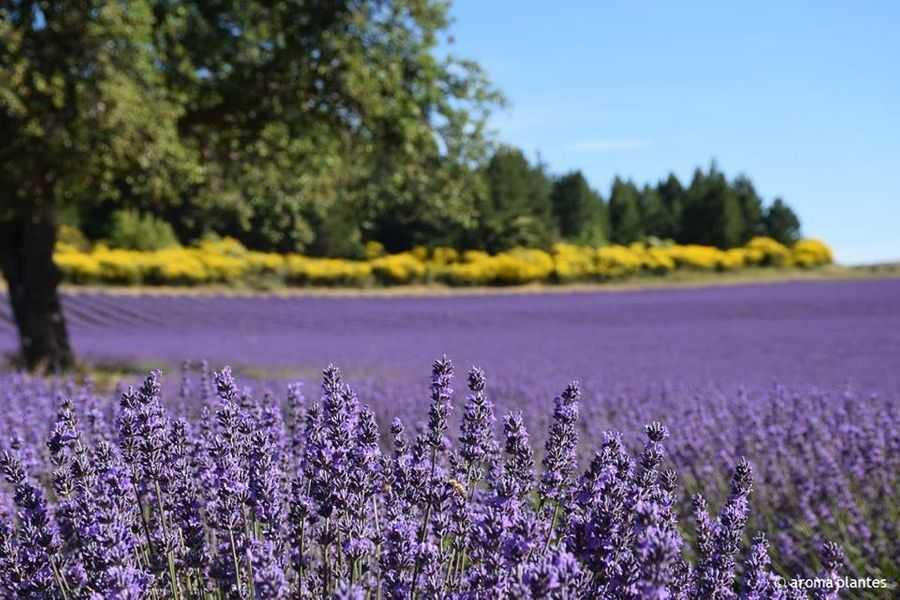 Lavender Farm, Sault, Provence