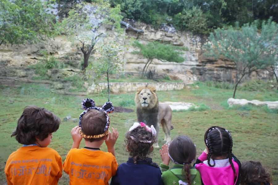 San Antonio Zoo Lion opening