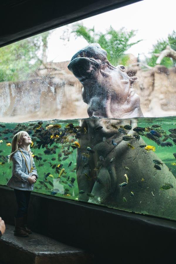 San Antonio Zoo, Hippo underwater viewing