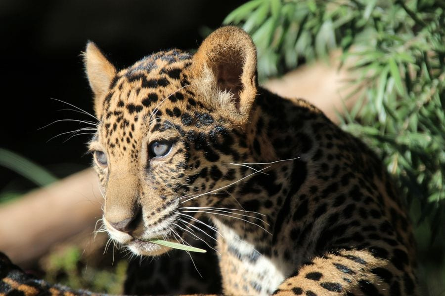 San Antonio Zoo, Milan, Cheetah