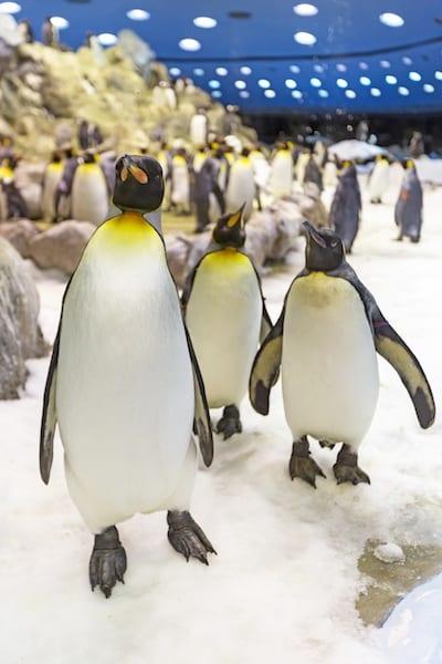 loro-parque-pinguinos-3