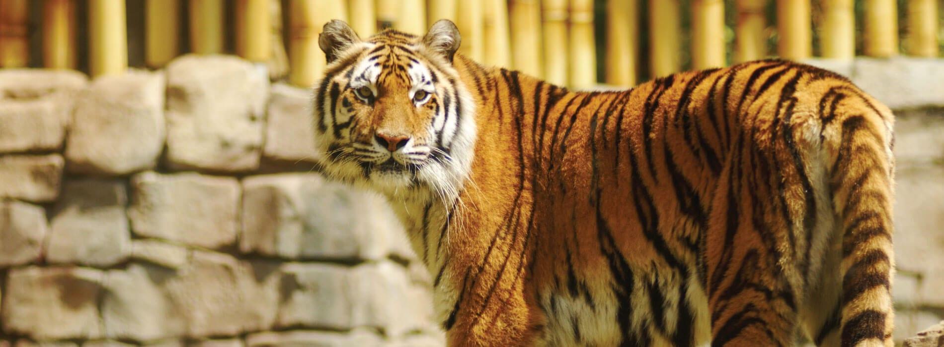 tiger busch gardens tampa panthera tigris