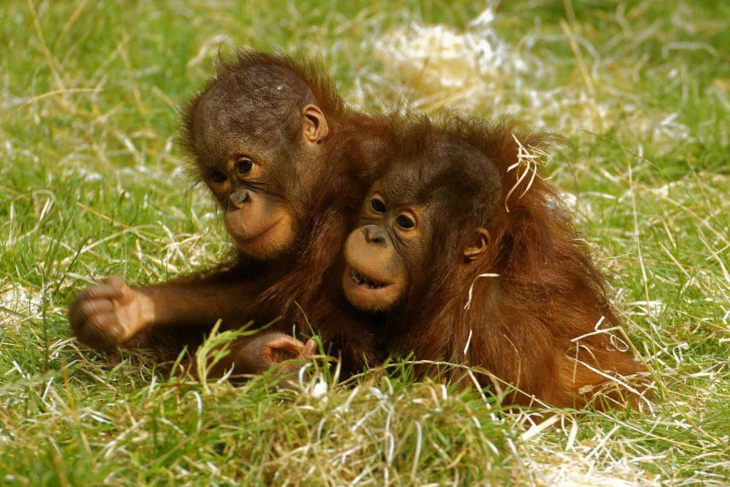 Twycross Zoo chimpanzees