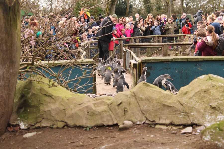 Twycross Zoo penguins walking
