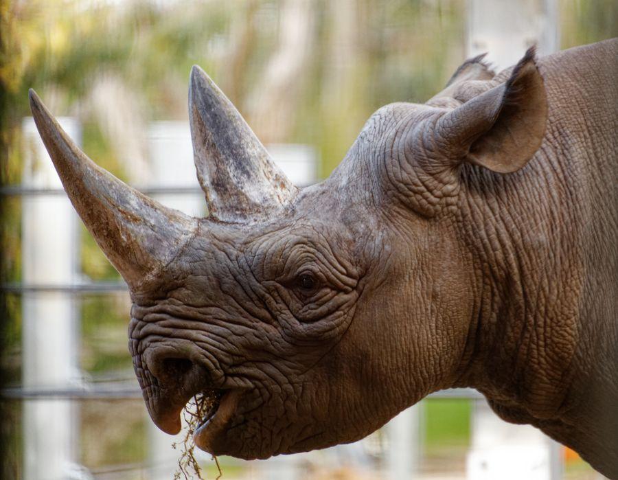 Twycross Zoo Rhino
