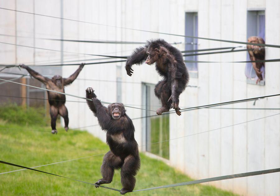 Twycross Zoo chimpanzee smiling outside Chimp Eden