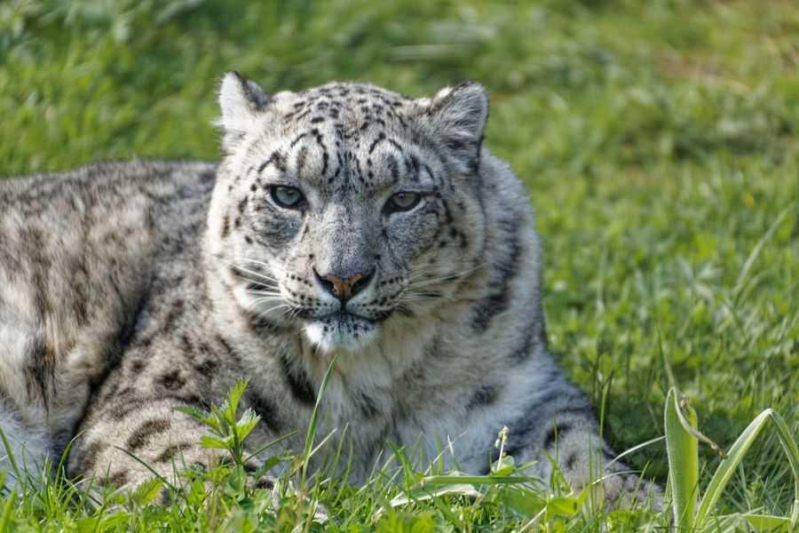 Twycross Zoo snow leopard