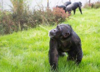 Twycross Zoo Chimpanzee in Chimp Eden