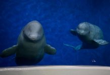 SEA LIFE Trust: Beluga whales arrive in Iceland en route to sanctuary