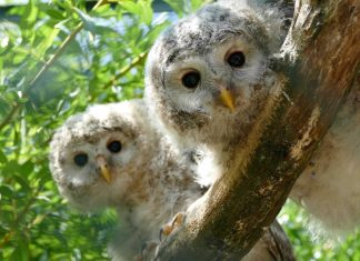 WAZA Hawk Owls on tree branch