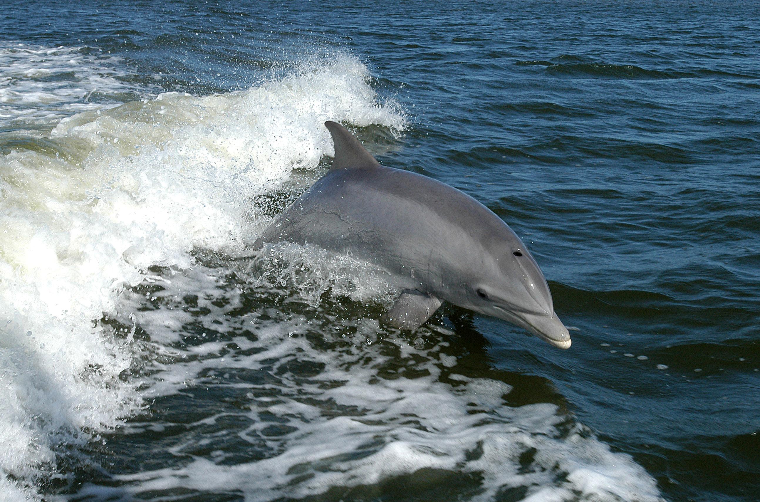 cetacean dolphin