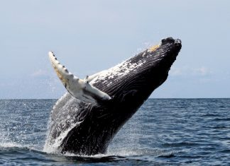cetacean whale