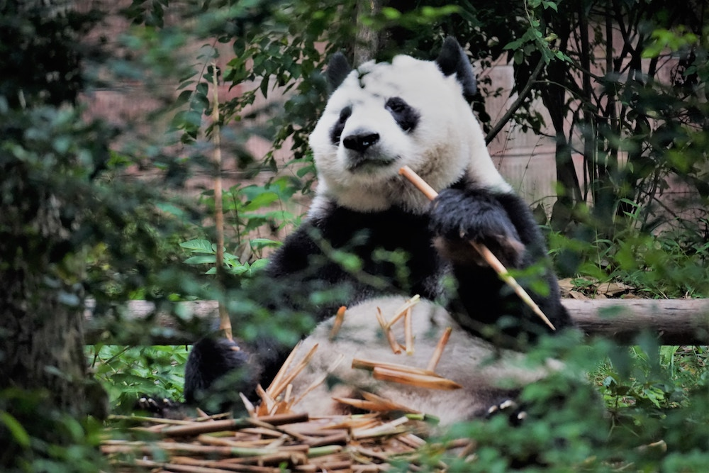 free stock images giant panda