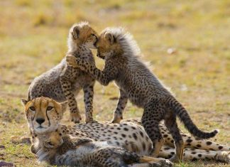 Zoological Association of America Cheetahs