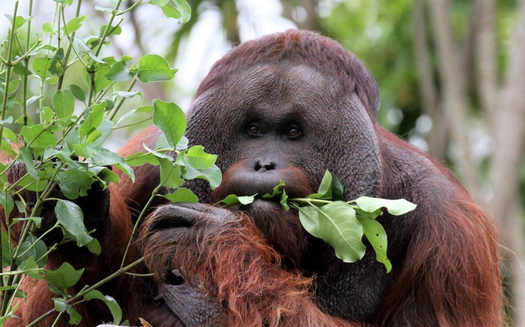 Auckland Zoo Charlie Orangutan
