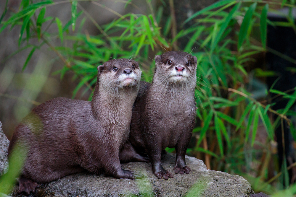 Auckland Zoo Otters