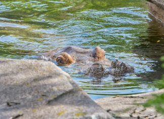 Hippo Milwaukee County Zoo